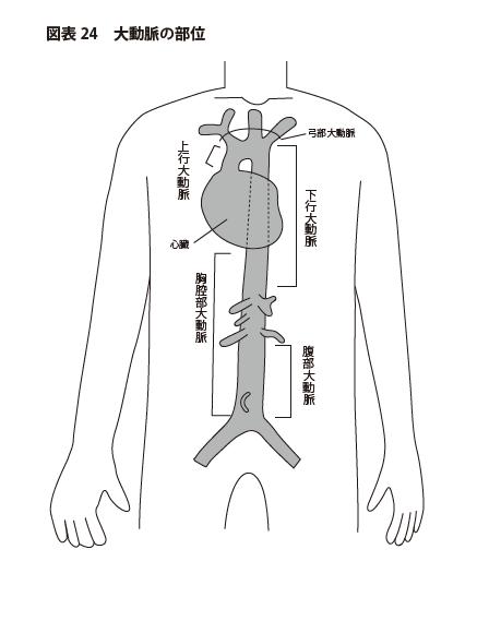 「大動脈の部位」